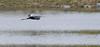 C'est Planant! The peaceful glider (Luc Deveault) Tags: wild canada bird heron animal flying pond eau quebec action reflet québec luc soaring takeoff oiseau étang héron sauvage planer voler flyning deveault encvol lucdeveault