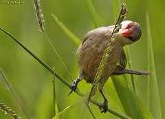 bico-de-lacre /Common Waxbill (margot_k_castro) Tags: bird brasil saopaulo natureza salve birdwatcher guararema a planetaterraeseusanimaisincrveis