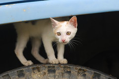Peek-a-boo (Strike vs. Freedom) Tags: trip college cat out rainforest malaysia peek steven curious wong siew peeking por taylors perak stryker wsp belum adveture strykerwsp shmopod