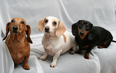 Pepper, Levi and Mocha (geckoam) Tags: dog pet pepper hotdog sausage dachshund blackdog wiener mocha levi piebald reddog wienerdog dackel teckel doxie whitedog