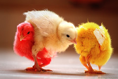 New comer (Light and Life -Murali ) Tags: new chicken colors happy chick newborn dye dyeing