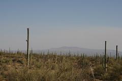 Dead Saguaros (QuinnDombrowski) Tags: cactus cacti hill saguaronationalpark