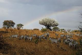 Zebra & Rainbow