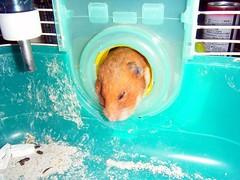 20080704-08 (kayako_) Tags: hamster pon