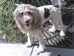 a komondor with a summer cut? (alist) Tags: dog mutt alist cambridgema 02139 robison komondor alicerobison ajrobison