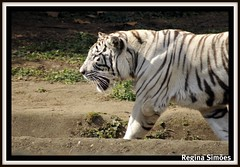 Zoolgico S.Paulo (Regina Simes) Tags: parque brazil animal branco brasil sopaulo natureza zoolgico regina animais tigre tigres mamfero simoes ar1 tigrebranco simes reginasimoes reginasimes