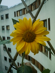 Good sunday ....from sunflower ... (chat&laine) Tags: flower fleur balcony sunflower balcon tournesol oltusfotos