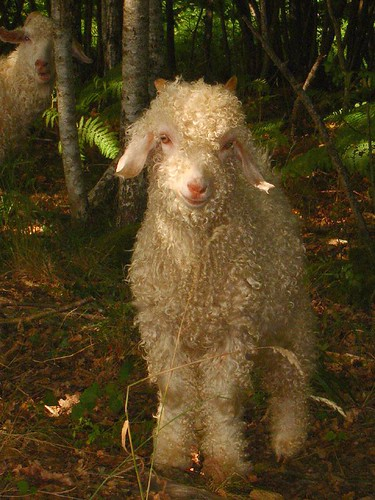 Boullie, one of our Angora goat kids in the woods