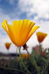 California Poppy (Eschscholzia californica) flowers on the Morro Bay, CA ca-poppy-on-morro-bay-harborwalk-4 (mikebaird) Tags: flower earth rules explore poppy mostinteresting getty beast californiapoppy biodiversity luda eschscholziacalifornica naturesfinest capit springoutsidetnc09 photocontesttnc10