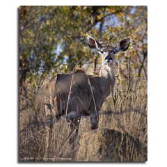Kudu (DanielKHC) Tags: game southafrica interestingness bush nikon bravo wildlife reserve explore kudu waterberg d300 nodri interestingness196 nohdr 1exp danielcheong andreinafrica danielkhc panoramapaul nikkor70300mmf4556vr explore16aug08 gettyimagesmeandafrica1