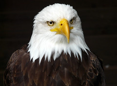 I'm not Hedwig, I swear! (dolorix (on/off)) Tags: bird nature eagle natur adler baldeagle chapeau haliaeetusleucocephalus vogel hellenthal weisskopfseeadler naturewatcher gemsofnature vosplusbellesphotos