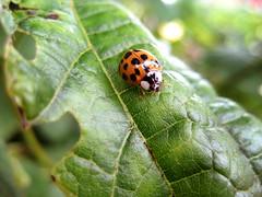 Improved lighting lady bird (George Martin!) Tags: macro bird up closeup lady leaf close ladybird