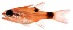 Anglų lietuvių žodynas. Žodis apogon maculatus reiškia <li>apogon maculatus</li> lietuviškai.