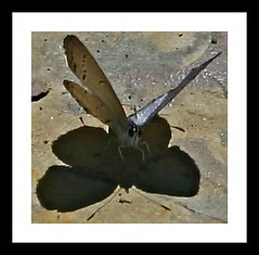 Butterfly Shadow (Sh4nn4n) Tags: shadow sun butterfly wings butterflyshadow