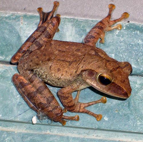 Vietnamese tree frog