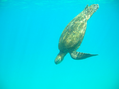 Maui - Black Rock (Ka'anapali) - Green Sea Turtle