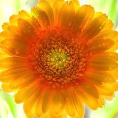 shine forth... (janoid) Tags: light golden bright shining goldenlight gerberadaisy xoxoxoxoxox xoxoxoxoxoxoxo visiongroup janslightstyle janalicious janoidmagic janoidsstyle oraclex likeasunshine youaresunshinetomedearjan beautifulnaturaltexture