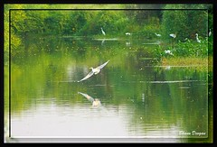 Large Egret in flight (Bhanu Devgan) Tags: canon rebel bhanu naturesfinest devgan xti slbflying