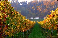 "~ wine area near my residence ~ (together8) Tags: autumn nature colors landscape searchthebest wine explore sensational soe vino loweraustria heurigen golddragon shieldofexcellence platinumphoto ysplix theunforgettablepictures elitephotography betterthangood proudshopper theperfectphotographer goldstaraward spiritofphotography multimegashot damniwishidtakenthat llovemypics ""nikonflickraward"" obq goldenart naturescreations novavitanewlife arenberger thedantecircle ""nikonflickraward50mostinteresting"" ""coffeeklatch"""