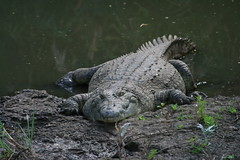 Big fat croc