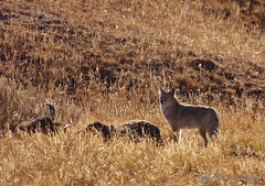 Last One Standing (RH Miller) Tags: coyote yellowstone reedmiller rhmiller bisoncarcass