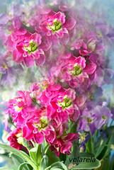 lilas (volarela) Tags: naturaleza flores color nature digital photoshop luces y flor detalles lilas ilustracin fotografa composicin encuentros