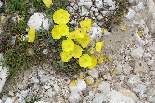 Yellow Poppy (Papaver sp.)