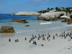 Boulder's Beach (Farl) Tags: ocean sea beach public birds southafrica penguin bay lowresolution sand capetown boulders jackass simonstown falsebay bouldersbay sphensicusdemersus