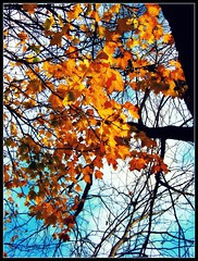 Autumn (windblownpages) Tags: autumn color tree leaves bluesky autumngold soonitwillonlybeamemory