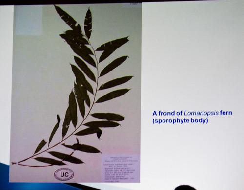 Lomariopsis Fern Frond