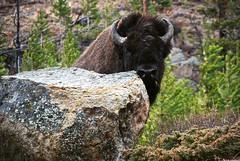 Shy Buffalo