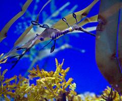 Weedy Seadragon (julesnene) Tags: california dragonyerbado monterey montereybay montereybayaquarium weedyseadragon aquarium fish funtravel julesene nature marine phyllopteryxtaeniolatus phyllopteryx