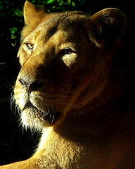 Panthera Leo (dfg photography) Tags: autumn cats scotland edinburgh lions bigcats captivity carnivores edinburghzoo pantheraleo asiaticlion animalsincaptivity digitalcameraclub carbonfootprint captiveanimals november2008 vulnerablespecies impressedbeauty flickrbigcats