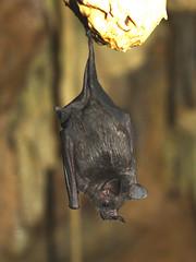 Brillenblattnase / Leaf-nosed Bat (Carollia perspicillata)