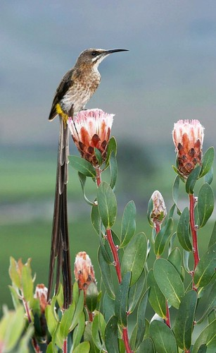 Cape Sugarbird (Promerops cafer) by Alan Manson.
