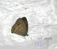 Euptychoides castrensis
