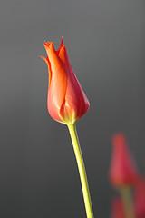 Elegance (Elashi) Tags: morning pink blur flower nature colors canon eos is bokeh tulip 7d l usm 70200 f4 70200mm