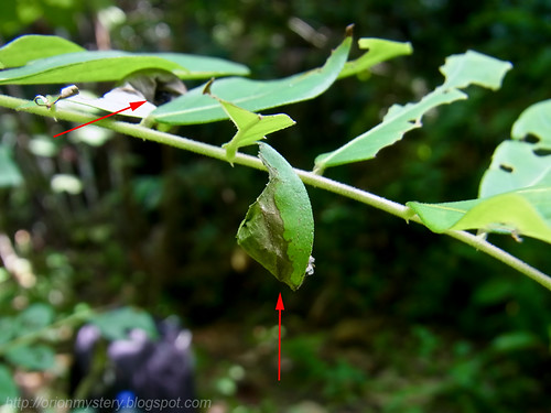 leaf rolling weevil host plant with nitidi RIMG0641 copy