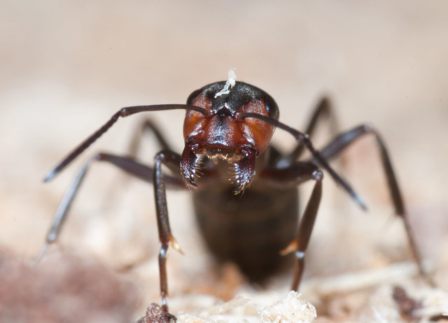 wood ant head on