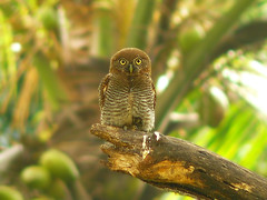 Barred Jungle Owlet (SivamDesign) Tags: bird fauna lumix backyard panasonic jungle barred owlet glaucidiumradiatum fz8 dmcfz8 barredjungleowlet