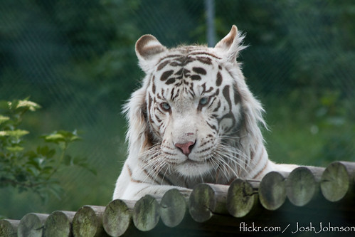 deformed white tiger pictures. Bengal White Tiger Portrait 2