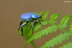 Hoplia coerulea, Landes (MP7Aquit) Tags: macro nature animal insect wildlife sony 180 alpha animaux 35 tamron insecte invertebrate 550 coloptre invertebrado invertbr