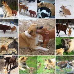 Loverboy (LisaNH) Tags: horse dog chicken pig farm sheepdog llama icelandic impressedbeauty