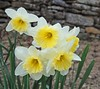 Daffodils (Monica Arellano-Ongpin) Tags: flower blanco fleur yellow jaune couleurs flor colores amarillo daffodil narcisse blume weiss bianco blanc narciso farben narzisse galb fior narziso