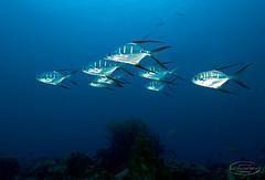 (gerb) Tags: ocean blue school fish water beautiful topv111 510fav wow cool nice topv555 topv333 underwater lovely1 topv1111 topv999 scuba fv5 loveit pi 1224mmf4g topv777 d200 fins bonaire tvp aquatica outstandingshots pfo top20fish 3waychallenge 3w5 photofaceoffwinner pfogold