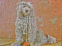 bugger off (mudpig) Tags: dog chien cane night geotagged nikon sheepdog hond perro hund blizzard hdr kom madra hungarian coolpix8700 komondor mudpig stevekelley komondorok sheepguarddog
