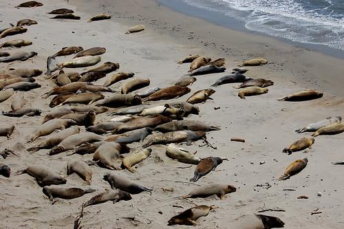 Anu Nuevo Elephant Seals
