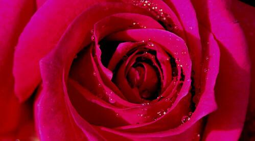 rose_mystic