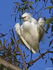 Snowy Egret Fluff (raineys) Tags: california bird nature wildlife snowyegret paloaltobaylands specanimal animalkingdomelite raineys impressedbeauty avianexcellence
