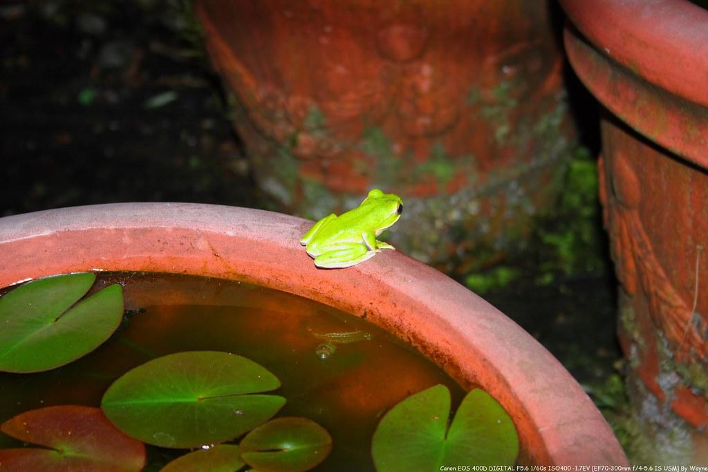 Rhacophorus smaragdinus 翡翠樹蛙 IMG_6619